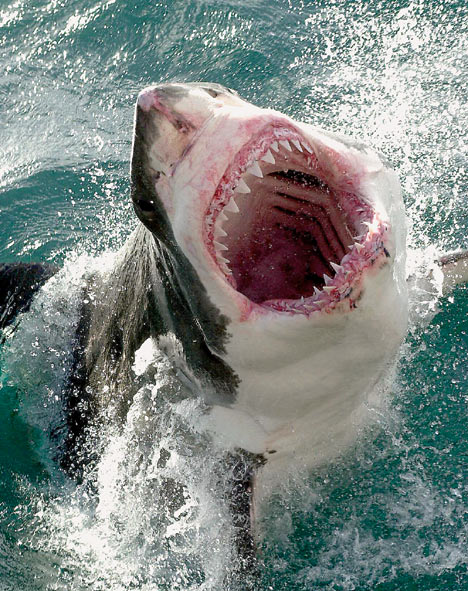 Great White Shark jumps into researcher's boat - Straight Dope Message Board